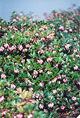 Vancouver Jade Bearberry (Arctostaphylos uva-ursi 'Vancouver Jade') at Harper's Garden Centre