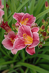 Cute As Can Be Daylily (Hemerocallis 'Cute As Can Be') at Harper's Garden Centre