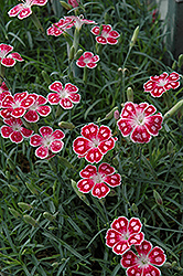 Spotty Pinks (Dianthus 'Spotty') at Harper's Garden Centre