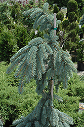 The Blues Colorado Blue Spruce (Picea pungens 'The Blues') at Harper's Garden Centre
