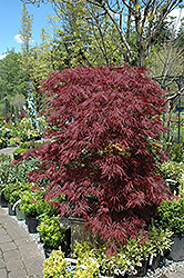 Red Dragon Japanese Maple (Acer palmatum 'Red Dragon') at Harper's Garden Centre