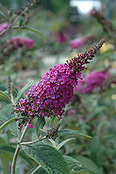 Miss Ruby Butterfly Bush (Buddleia davidii 'Miss Ruby') at Harper's Garden Centre