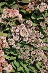 Moonlight Serenade Stonecrop (Sedum 'Moonlight Serenade') at Harper's Garden Centre
