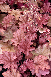 Ginger Peach Coral Bells (Heuchera 'Ginger Peach') at Harper's Garden Centre